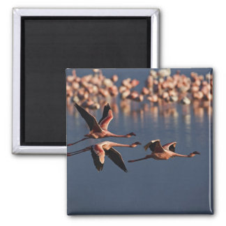 Trio of Lesser Flamingos in flight, Lake Nakuru 2 Inch Square Magnet