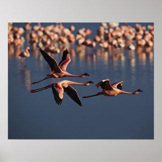 Trio of Lesser Flamingos in flight, Lake Nakuru Poster
