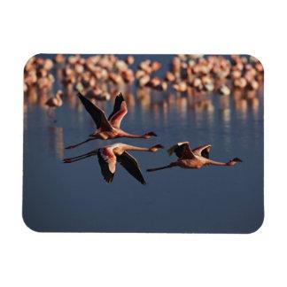 Trio of Lesser Flamingos in flight, Lake Nakuru Rectangular Photo Magnet