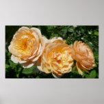 Trio of Peach Roses Pretty Floral Poster