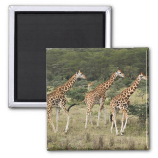 Trio of Rothschild's Giraffes, Lake Nakuru 2 Inch Square Magnet