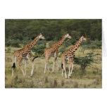 Trio of Rothschild's Giraffes, Lake Nakuru Cards