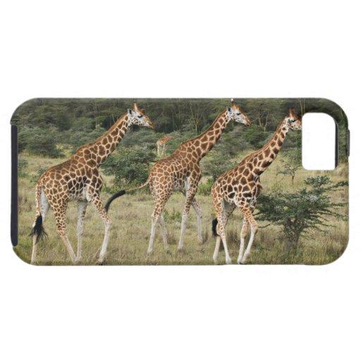 Trio of Rothschild's Giraffes, Lake Nakuru iPhone 5 Covers