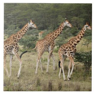 Trio of Rothschild's Giraffes, Lake Nakuru Large Square Tile