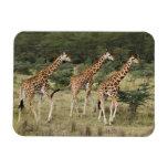 Trio of Rothschild's Giraffes, Lake Nakuru Magnets