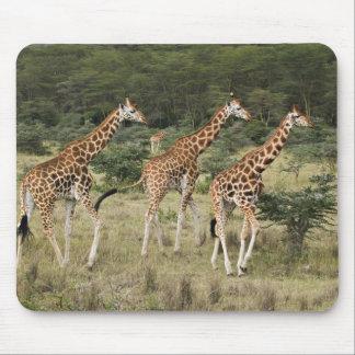 Trio of Rothschild's Giraffes, Lake Nakuru Mouse Pad