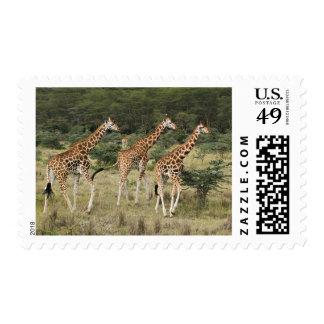 Trio of Rothschild's Giraffes, Lake Nakuru Postage