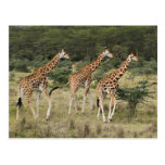 Trio of Rothschild's Giraffes, Lake Nakuru Postcard