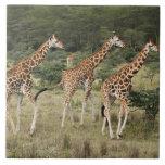 Trio of Rothschild's Giraffes, Lake Nakuru Ceramic Tiles