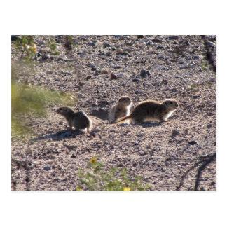 Trio of Round-tailed Ground Squirrels Postcard