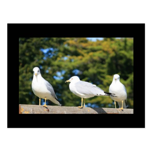 Trio Of Seagulls Postcard