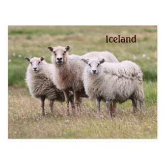 Trio of Sheep in Iceland Post Card