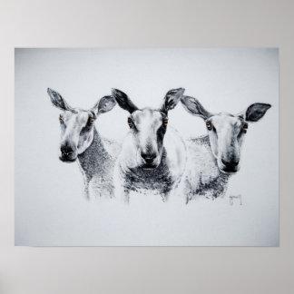 Trio of Sheep Print