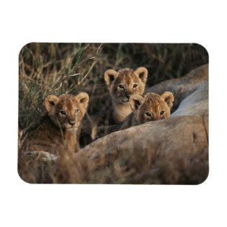 Trio of six week old Lion cubs sitting Magnet