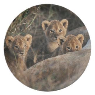 Trio of six week old Lion cubs sitting Melamine Plate