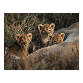 Trio of six week old Lion cubs sitting Postcard