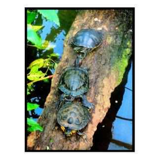 Trio of Turtles Walk The Plank Postcard