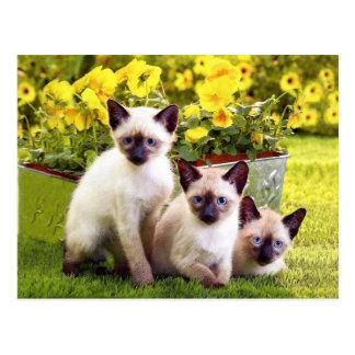 Tríos siameses del gatito postales