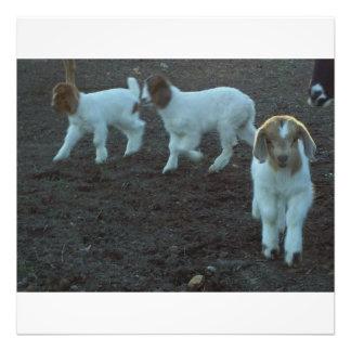 triplet baby goats photo print