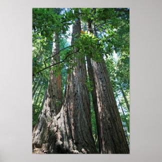 """""""Tripletrees"""", maderas de Muir Poster"""