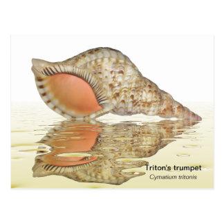 Triton seashell postcard