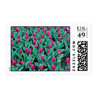 Triumph tulips hot pink flowers postage