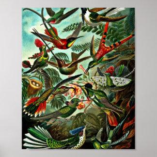 Trochilidae - colibríes impresiones