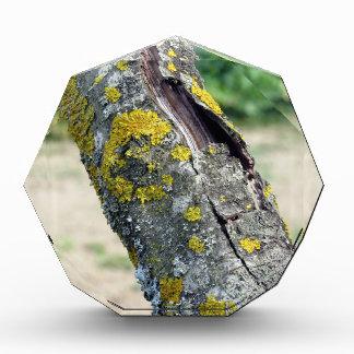Tronco de árbol con el hongo amarillo del musgo