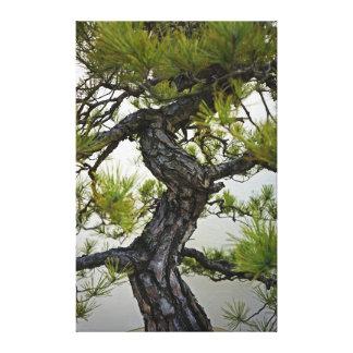 Tronco de los bonsais del pino rojo japonés lona estirada galerías