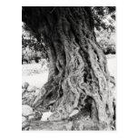 Tronco del olivo antiguo en la fotografía de Greci Tarjetas Postales