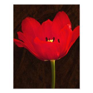 Tronco floral colorido de la flor roja del tulipán fotografía