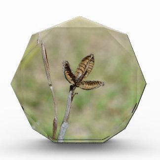 Tronco secado de la flor de la vaina del lirio afr