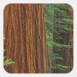 Troncos de la secoya gigante en el bosque, calcomanías cuadradass