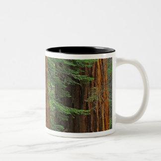 Troncos de la secoya gigante en el bosque, taza de dos tonos