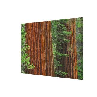 Troncos de la secoya gigante en el bosque, Yosemit Impresiones En Lona Estiradas