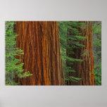 Troncos de la secoya gigante en el bosque, Yosemit Poster