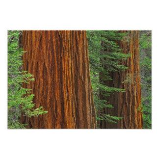 Troncos de la secoya gigante en el bosque, Yosemit Cojinete
