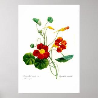 Tropaeolum majus(nasturtium) poster