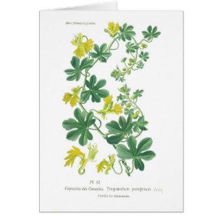 Tropaeolum peregrinum (Canary creeper) Card