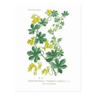 Tropaeolum peregrinum (Canary creeper) Postcard