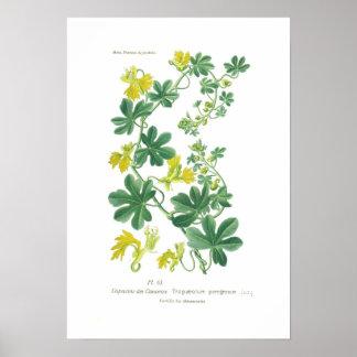 Tropaeolum peregrinum (Canary creeper) Poster