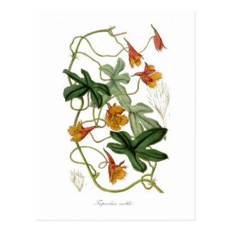 Tropaeolum smithii postcard