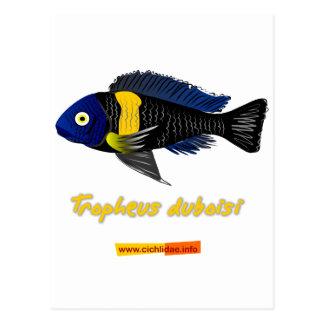 Tropheus duboisi postcard