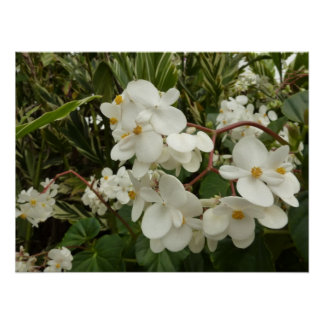 Tropical Begonia Flowers Poster Print