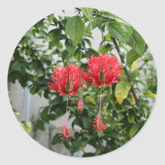 Tropical Fringed Coral Hibiscus Flower Classic Round Sticker