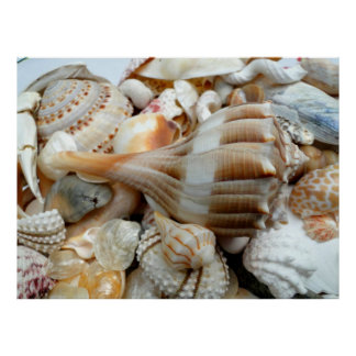 Tropical Lightning Whelks Large Photography Poster