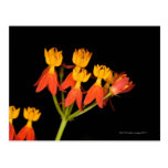 Tropical Milkweed  (Asclepias curassavica) - Postcard