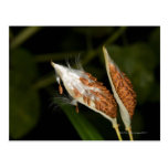 Tropical Milkweed  seed pods (Asclepias Postcard