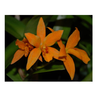 Tropical orange cattleya orchid flower postcard