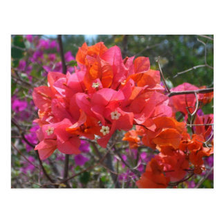 Tropical Pink Bougainvillea Postcard